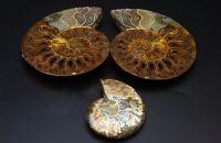 Ammonite Specimen